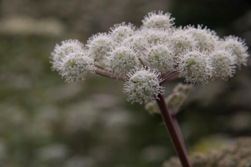 Cape Breton Flower